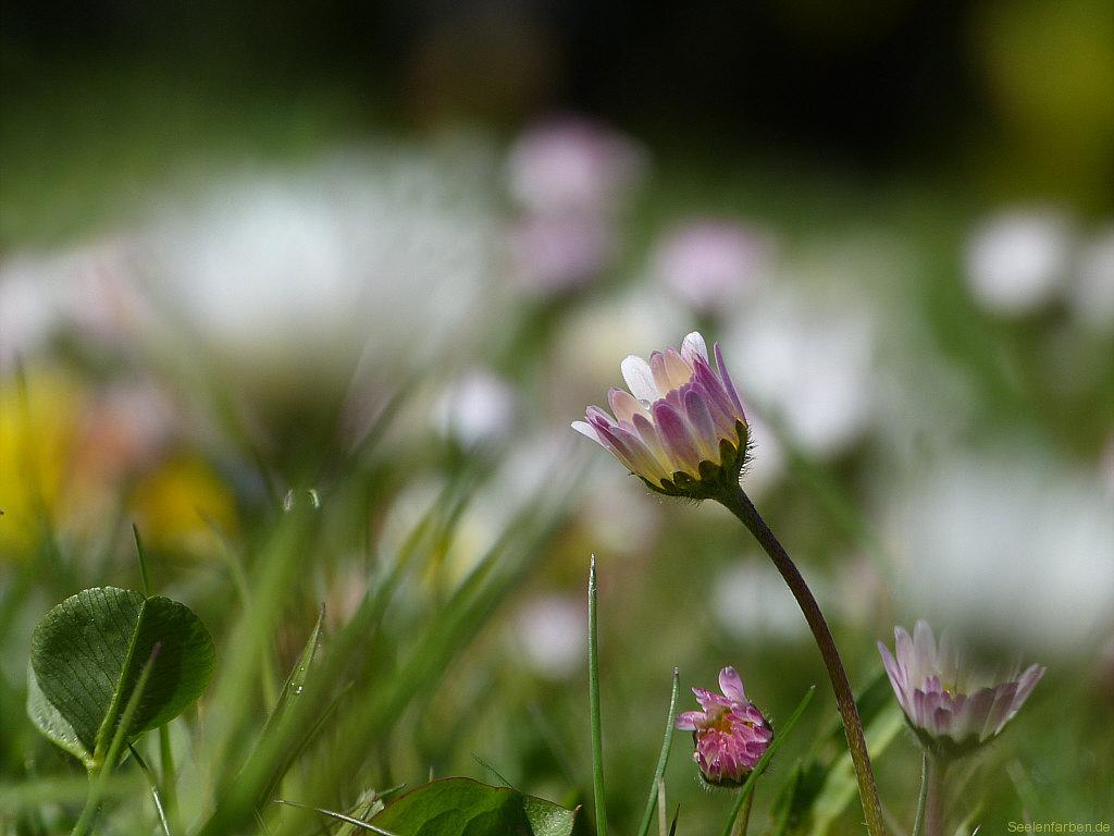 Gänseblümchen Rasen Wiese Garten